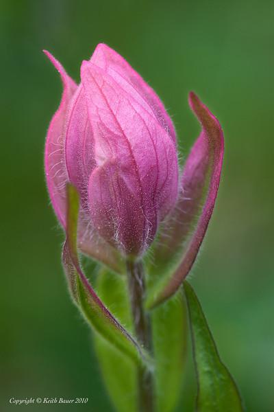 Flower Bud In Yankee Boy Basin