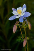 Colorado Columbine - Yankee Boy Basin