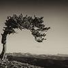 Bristlecone Pine - Mount Evans