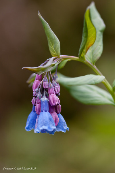 Mountain Bluebells - Yankee Boy Basin