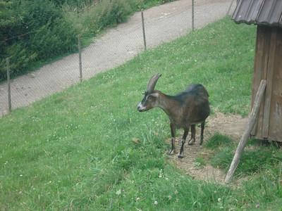 Schwarzwald goat