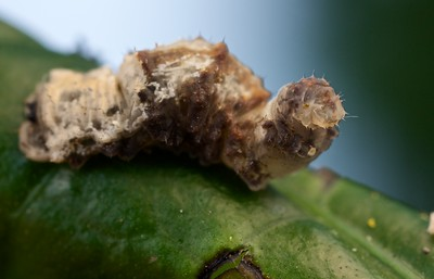 Bird dung-mimicking hoverfly larva (Syrphidae)