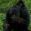 Baby mountain gorilla with feeding mother (Gorilla beringei beringei)