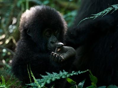 Baby mountain gorilla (Gorilla beringei beringei)