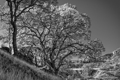 Oak Trees, Shell Ridge, Walnut Creek, California