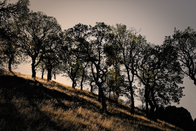 Oak Trees, Shell Ridge, Walnut Creek, California