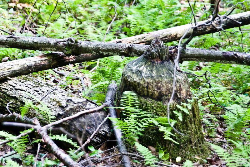 Old Beaver Chew