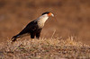 Crested Caracara with nesting material