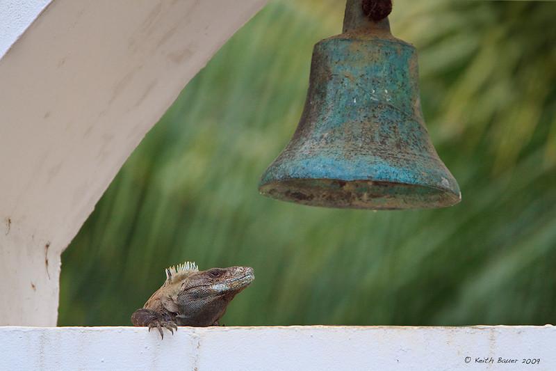 Iguana in the Belltower