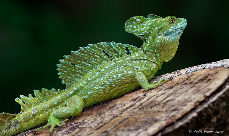 Male Green Basalisk Lizard