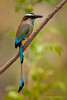 Turquoise Browed Motmot