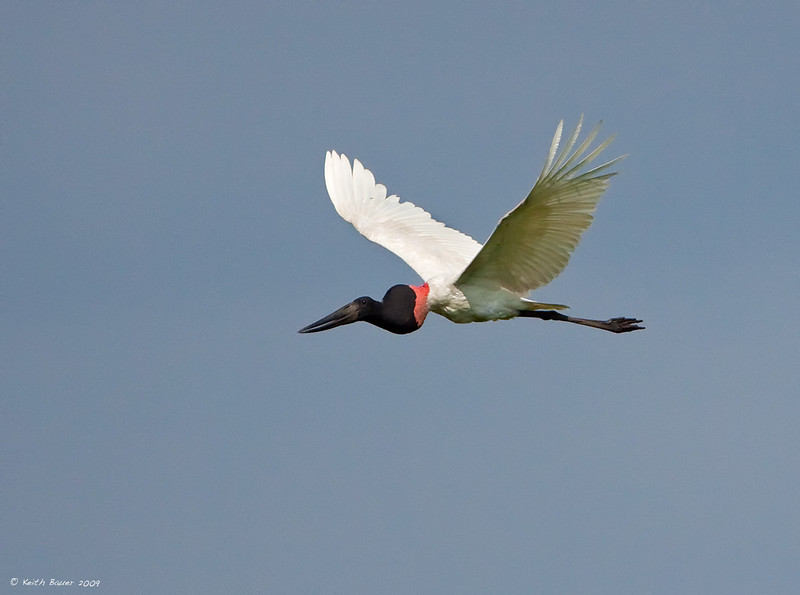 "Jabiru - These guys are HUGE.  About 52"" tall with wingspans of about 100"""