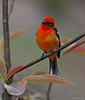 Male Flame Colored Tanager