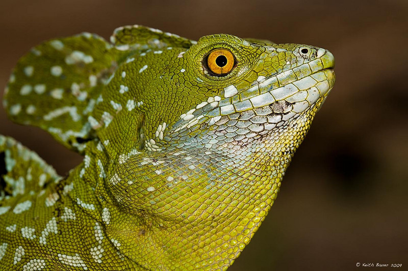 Male Green Basalisk Lizard