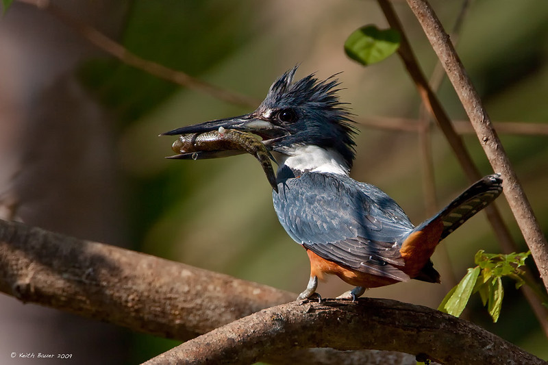 Ringed Kingfisher with lunch