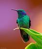 Green Violet Ear