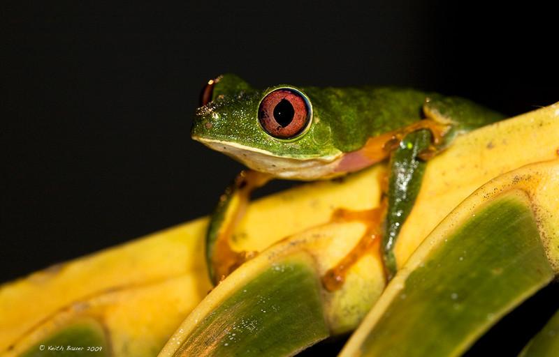 Parachuting Leaf Frog