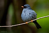 Black Faced Solitaire
