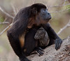 Howler Monkey with her baby