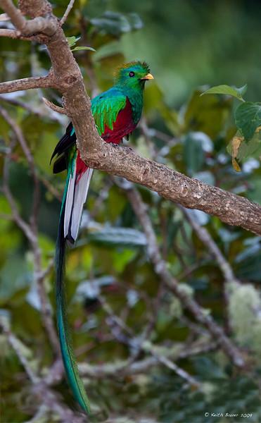 Male Resplendent Quetzal