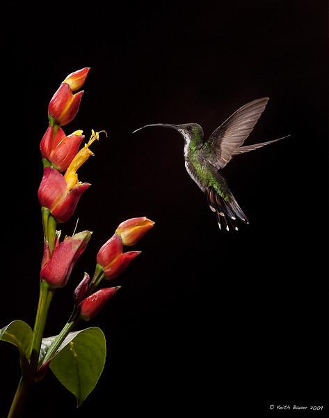 Female Green Breasted Mango Hummingbird