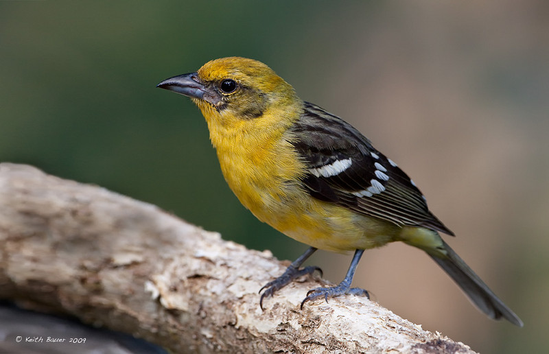 Female Flame Colored Tanager