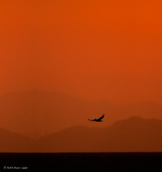 Brown Pelican Silhouette