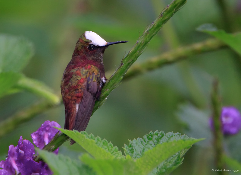 Male Snowcap Hummingbird