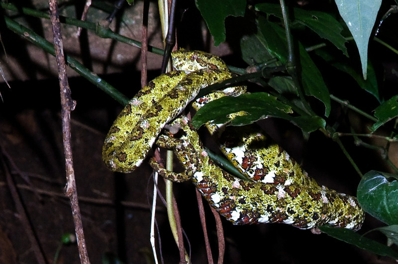 Eyelash viper. There is a face there. Really.