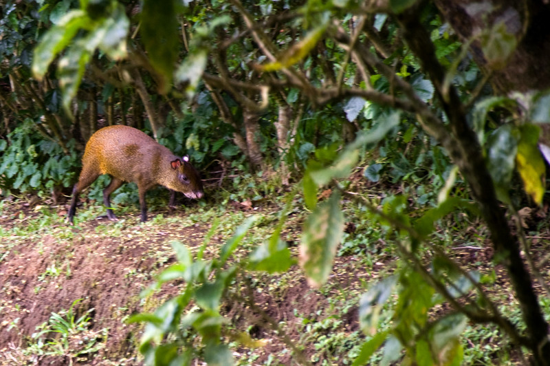 An agouti. About the size of a house cat.