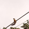 The squirrels in Costa Rica are tri-colored. I guess that helps their high-wire acts.