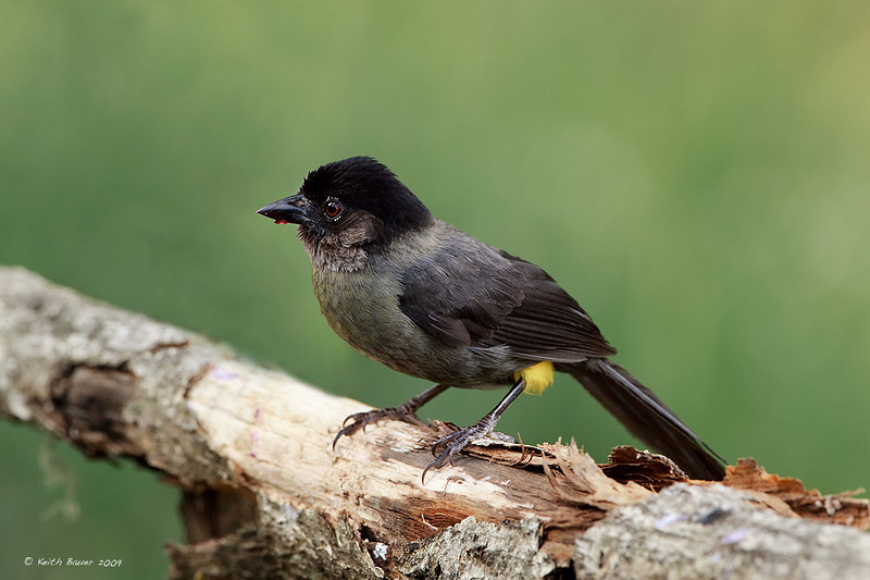 Yellow Thighed Finch