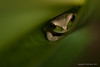 Masked Tree Frog down in a curly leaf