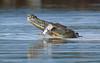 American Crocodile - Lunch Time