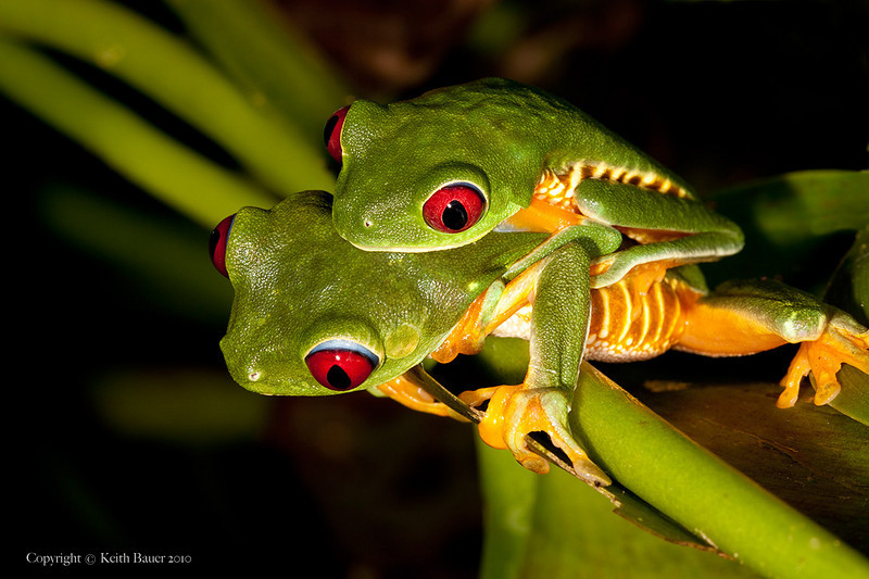 Mating Red Eyed Tree Frogs