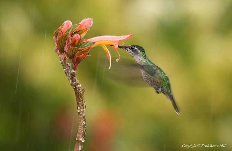 Female Magnificent Hummingbird in the rain