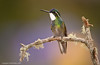 White Throated Mountain Gem Hummingbird