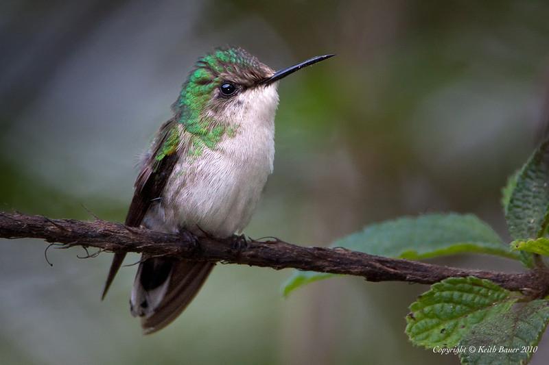 Female Snowcap Hummingbird