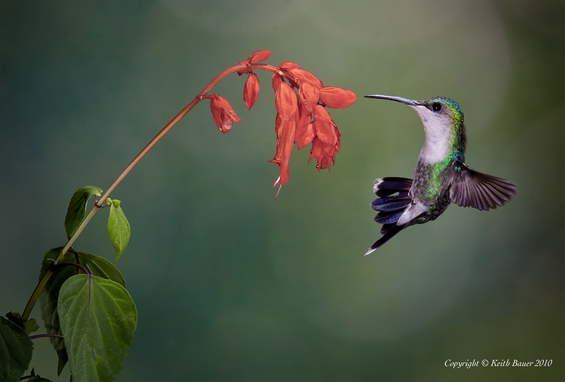 Female Violet Crowned Woodhymph Hummingbird Acrobatics
