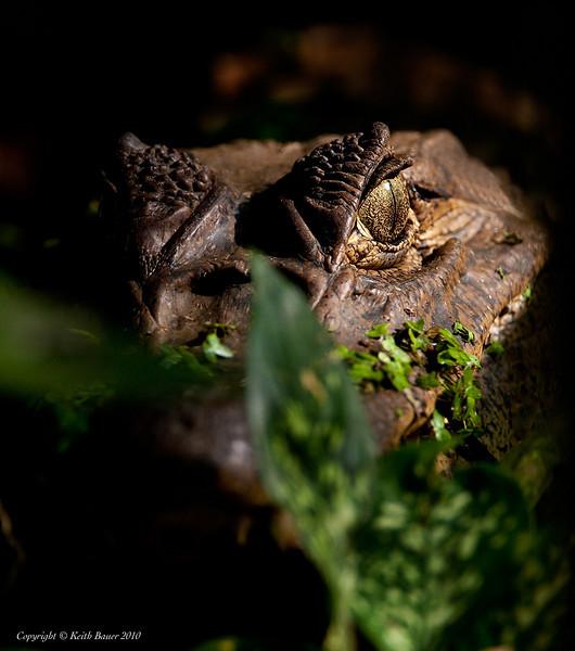 Caiman - In the bush
