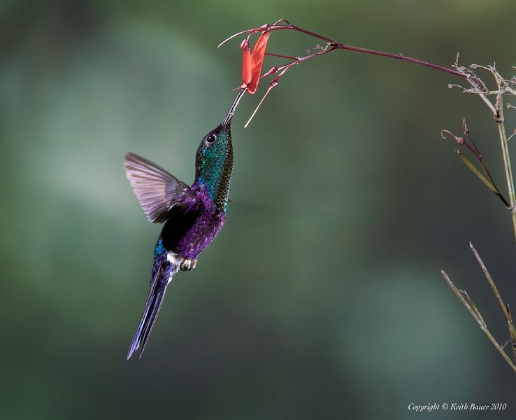 Male Violet Crowned Woodnymph Hummingbird