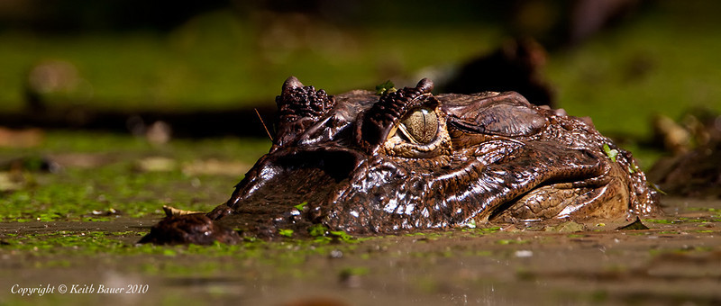 Caiman - Lurking in the swamp