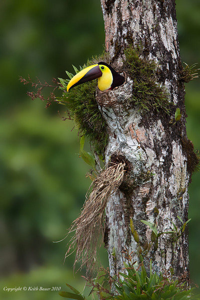 Chestnut Mandibled Toucan in the nest