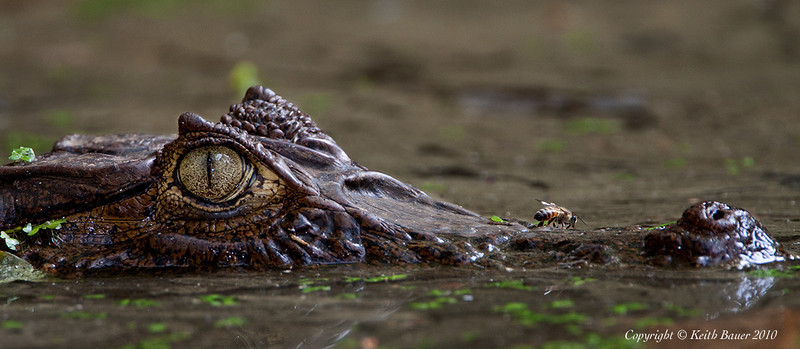 Caiman - Check out the Bee on his nose