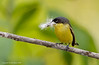 Tody Flycatcher bringing nesting material