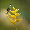 White Throated Mountain Gem on a Yellow Heliconia