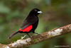 Male Passerini's Tanager