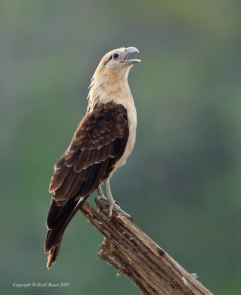 Yellow-headed Caracara calling
