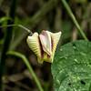 Blossom of a vine in pea family