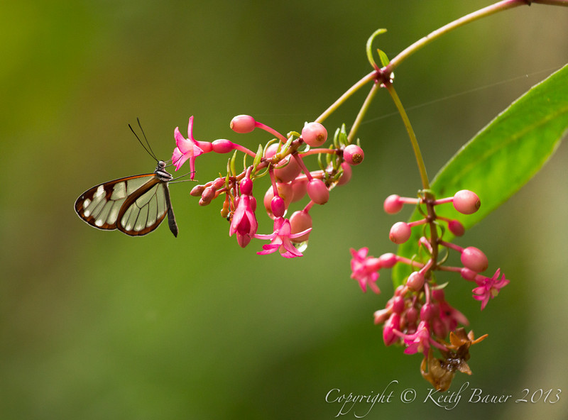 Glass Winged Butterfly on a Fuchsia Plant